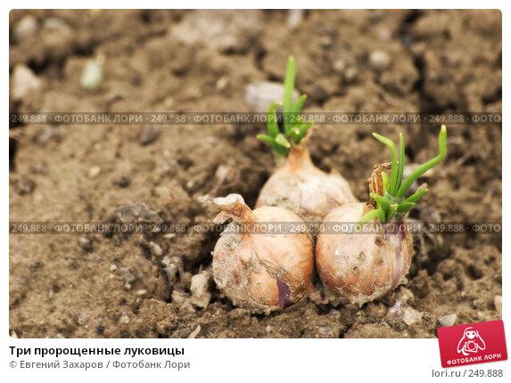 Три пророщенные луковицы, эксклюзивное фото № 249888, снято 5 апреля 2008 г. (c) Евгений Захаров / Фотобанк Лори