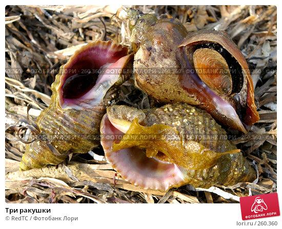 Купить «Три ракушки», фото № 260360, снято 22 апреля 2008 г. (c) RedTC / Фотобанк Лори