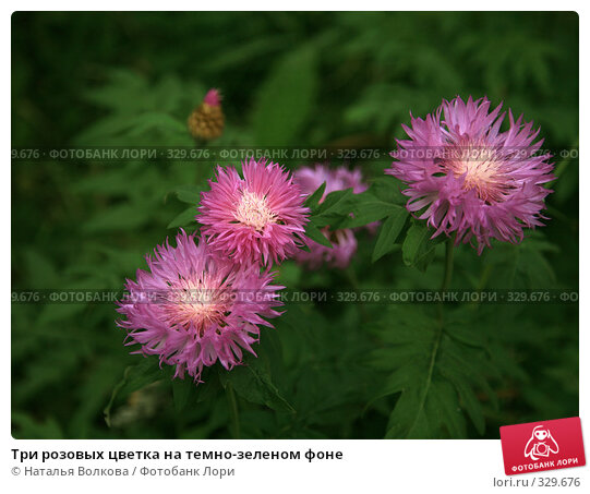 Купить «Три розовых цветка на темно-зеленом фоне», фото № 329676, снято 21 июня 2008 г. (c) Наталья Волкова / Фотобанк Лори