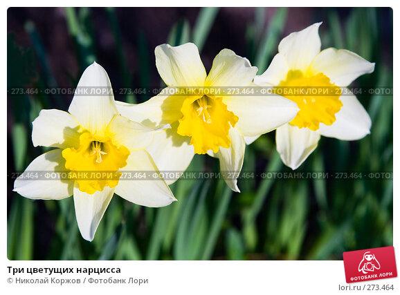 Три цветущих нарцисса, фото № 273464, снято 3 апреля 2008 г. (c) Николай Коржов / Фотобанк Лори
