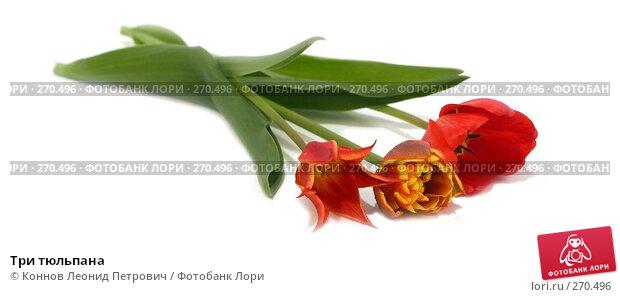 Три тюльпана, фото № 270496, снято 3 мая 2008 г. (c) Коннов Леонид Петрович / Фотобанк Лори