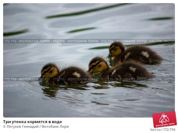 Три утенка кормятся в воде, фото № 172716, снято 7 июля 2007 г. (c) Петухов Геннадий / Фотобанк Лори