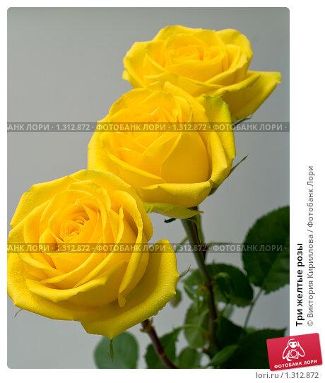 Фотографии желтых роз  fotocvetovcom