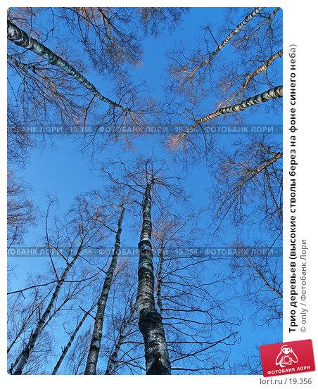 Купить «Трио деревьев (высокие стволы берез на фоне синего неба)», фото № 19356, снято 10 февраля 2007 г. (c) only / Фотобанк Лори