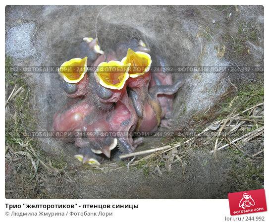 """Трио """"желторотиков"""" - птенцов синицы, фото № 244992, снято 28 мая 2007 г. (c) Людмила Жмурина / Фотобанк Лори"""