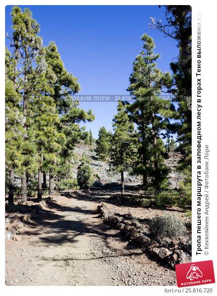 Купить «Тропа пешего маршрута в заповедном лесу в горах Тено выложена кусками лавы по сторонам. Тенерифе, Канарские острова, Испания», фото № 25816720, снято 30 декабря 2015 г. (c) Кекяляйнен Андрей / Фотобанк Лори