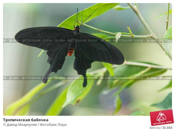 Тропическая бабочка, фото № 36884, снято 29 апреля 2007 г. (c) Давид Мзареулян / Фотобанк Лори
