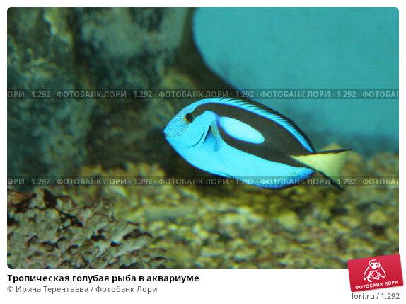 Тропическая голубая рыба в аквариуме, эксклюзивное фото № 1292, снято 15 сентября 2005 г. (c) Ирина Терентьева / Фотобанк Лори