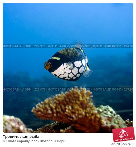 Тропическая рыба, фото № 227976, снято 8 октября 2007 г. (c) Ольга Хорошунова / Фотобанк Лори