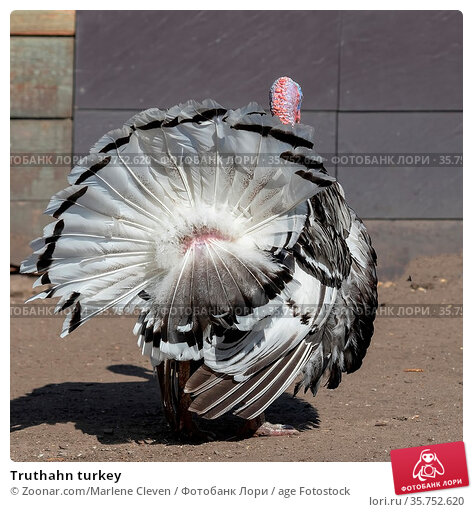 Truthahn turkey. Стоковое фото, фотограф Zoonar.com/Marlene Cleven / age Fotostock / Фотобанк Лори