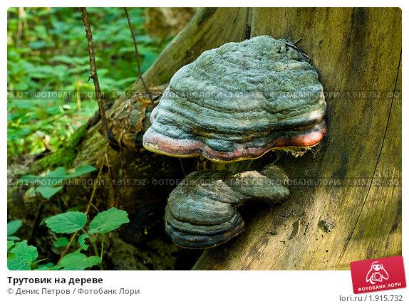 Трутовик на дереве. Стоковое фото, фотограф Денис Петров / Фотобанк Лори