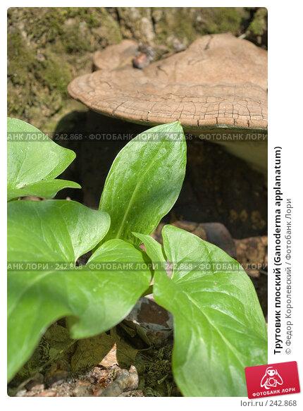 Трутовик плоский (Ganoderma applanatum), фото № 242868, снято 4 апреля 2008 г. (c) Федор Королевский / Фотобанк Лори