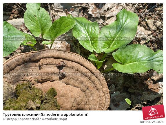 Трутовик плоский (Ganoderma applanatum), фото № 242876, снято 4 апреля 2008 г. (c) Федор Королевский / Фотобанк Лори