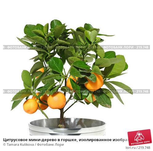 Купить «Цитрусовое мини-дерево в горшке, изолированное изображение», фото № 219748, снято 9 марта 2008 г. (c) Tamara Kulikova / Фотобанк Лори