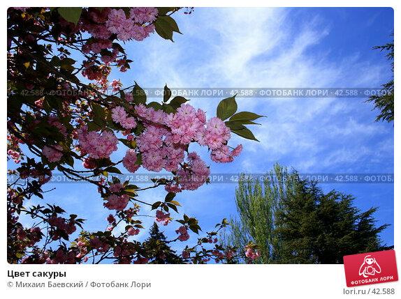 Цвет сакуры, фото № 42588, снято 9 мая 2007 г. (c) Михаил Баевский / Фотобанк Лори