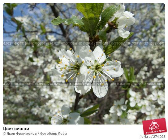 Цвет вишни, фото № 274028, снято 1 мая 2008 г. (c) Яков Филимонов / Фотобанк Лори