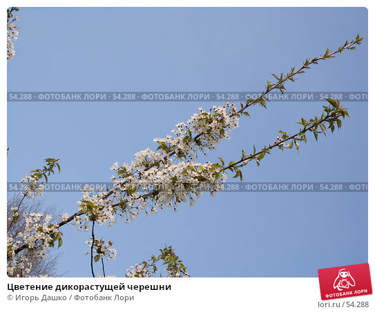 Цветение дикорастущей черешни, фото № 54288, снято 23 апреля 2007 г. (c) Игорь Дашко / Фотобанк Лори