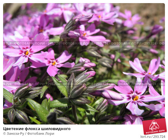 Цветение флокса шиловидного, фото № 293724, снято 17 мая 2008 г. (c) Заноза-Ру / Фотобанк Лори