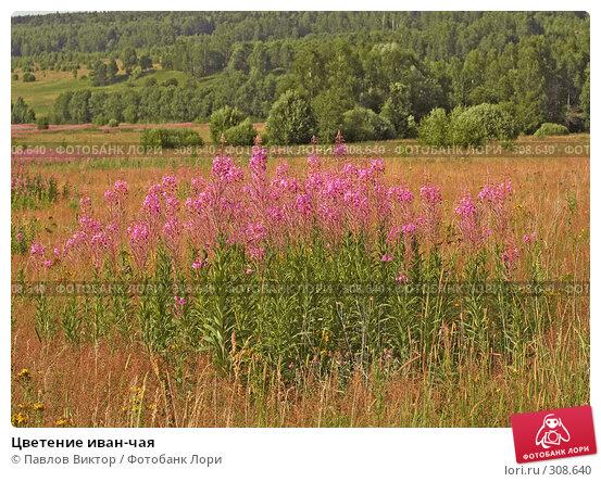 Цветение иван-чая, фото № 308640, снято 11 июля 2007 г. (c) Павлов Виктор / Фотобанк Лори