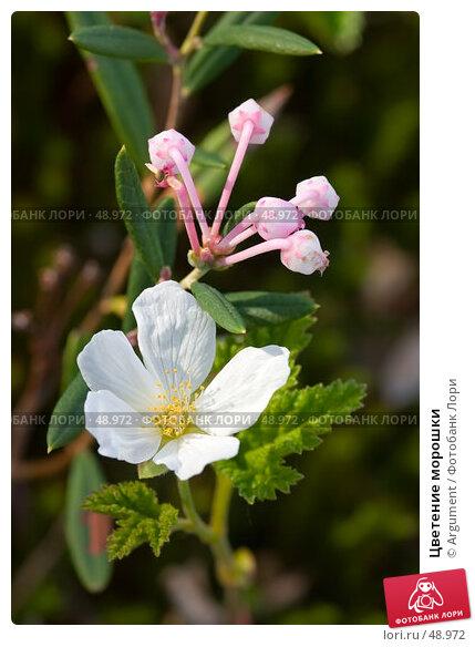 Купить «Цветение морошки», фото № 48972, снято 10 июня 2006 г. (c) Argument / Фотобанк Лори