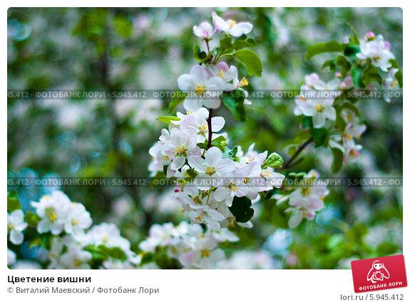 Цветение вишни. Стоковое фото, фотограф Виталий Маевский / Фотобанк Лори