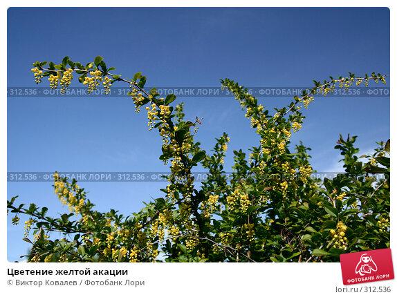 Цветение желтой акации, фото № 312536, снято 30 мая 2008 г. (c) Виктор Ковалев / Фотобанк Лори