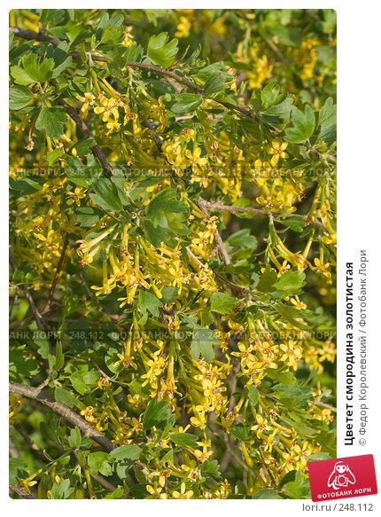 Цветет смородина золотистая, фото № 248112, снято 10 апреля 2008 г. (c) Федор Королевский / Фотобанк Лори