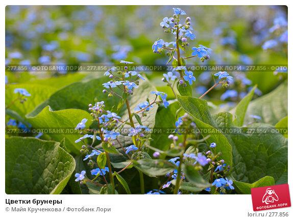 Цветки брунеры, фото № 277856, снято 5 мая 2008 г. (c) Майя Крученкова / Фотобанк Лори