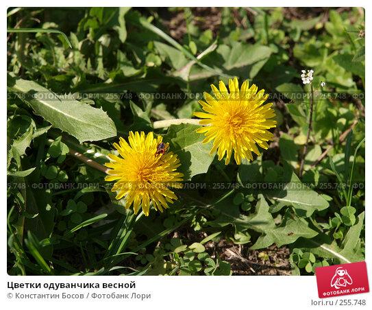 Цветки одуванчика весной, фото № 255748, снято 25 октября 2016 г. (c) Константин Босов / Фотобанк Лори