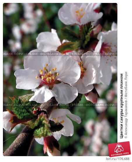 Цветки сакуры крупным планом, эксклюзивное фото № 176688, снято 29 мая 2017 г. (c) Александр Тараканов / Фотобанк Лори