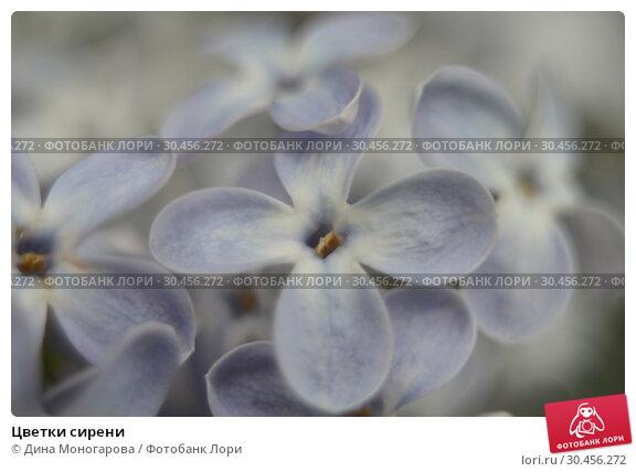 Цветки сирени. Стоковое фото, фотограф Дина Моногарова / Фотобанк Лори