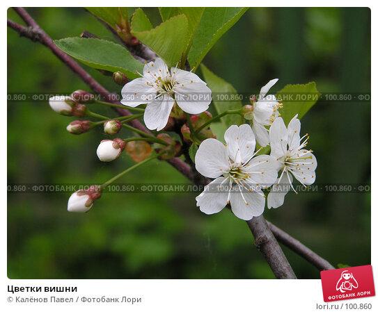 Цветки вишни, фото № 100860, снято 21 мая 2005 г. (c) Калёнов Павел / Фотобанк Лори