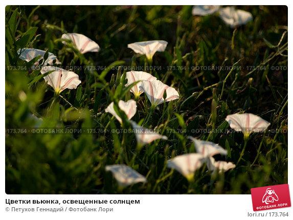 Купить «Цветки вьюнка, освещенные солнцем», фото № 173764, снято 13 июля 2007 г. (c) Петухов Геннадий / Фотобанк Лори