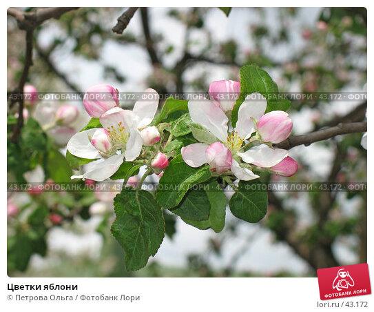Цветки яблони, фото № 43172, снято 13 мая 2007 г. (c) Петрова Ольга / Фотобанк Лори