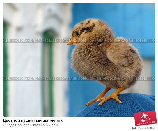 Цветной пушистый цыпленок, фото № 304868, снято 22 мая 2008 г. (c) Лада Иванова / Фотобанк Лори