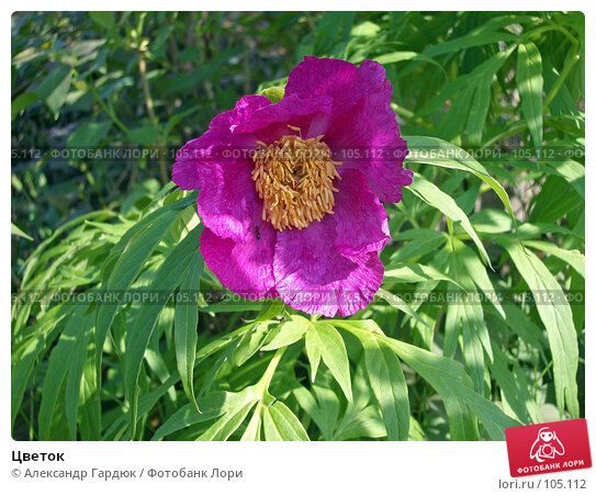 Цветок, фото № 105112, снято 25 июля 2017 г. (c) Александр Гардюк / Фотобанк Лори