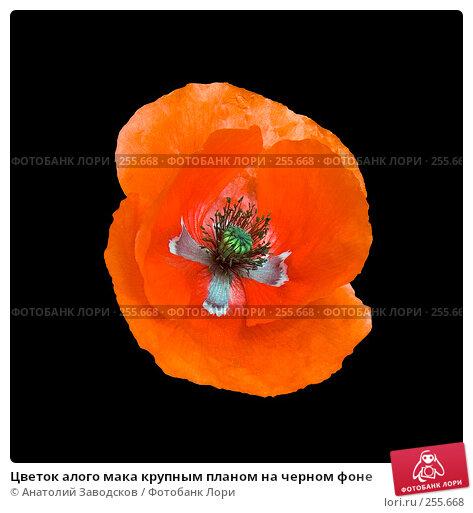 Цветок алого мака крупным планом на черном фоне, фото № 255668, снято 22 мая 2006 г. (c) Анатолий Заводсков / Фотобанк Лори
