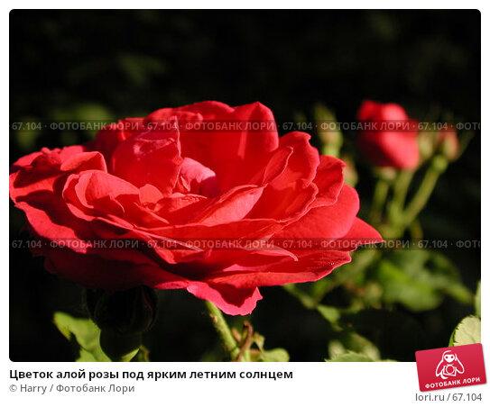 Цветок алой розы под ярким летним солнцем, фото № 67104, снято 11 июня 2004 г. (c) Harry / Фотобанк Лори