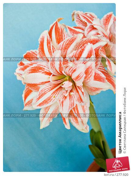 Цветок Амариллиса, фото № 277920, снято 9 мая 2008 г. (c) Светлана Силецкая / Фотобанк Лори
