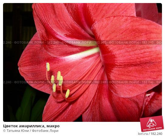 Цветок амариллиса, макро, фото № 182240, снято 21 января 2008 г. (c) Татьяна Юни / Фотобанк Лори
