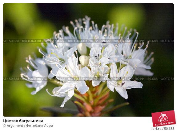 Цветок багульника, фото № 50688, снято 10 июня 2006 г. (c) Argument / Фотобанк Лори