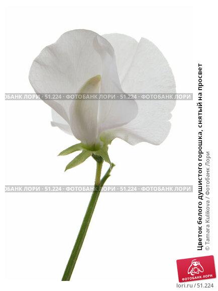 Цветок белого душистого горошка, снятый на просвет, фото № 51224, снято 9 июня 2007 г. (c) Tamara Kulikova / Фотобанк Лори