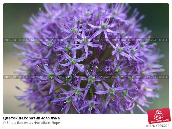 Цветок декоративного лука, фото № 209224, снято 21 мая 2007 г. (c) Елена Блохина / Фотобанк Лори