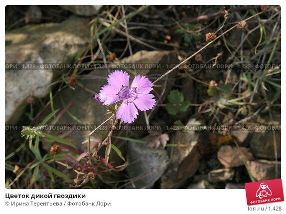 Цветок дикой гвоздики, эксклюзивное фото № 1428, снято 18 сентября 2005 г. (c) Ирина Терентьева / Фотобанк Лори