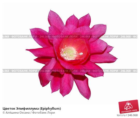 Цветок Эпифиллума (Epiphyllum), эксклюзивное фото № 246068, снято 1 апреля 2008 г. (c) Алёшина Оксана / Фотобанк Лори