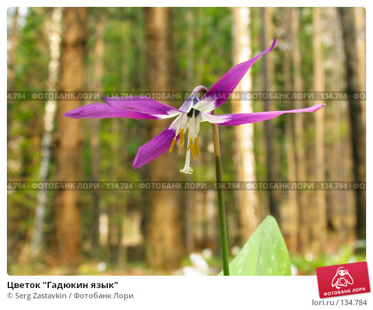"Цветок ""Гадюкин язык"", фото № 134784, снято 12 мая 2004 г. (c) Serg Zastavkin / Фотобанк Лори"