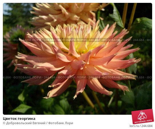 Цветок георгина, фото № 244684, снято 14 августа 2007 г. (c) Добровольский Евгений / Фотобанк Лори