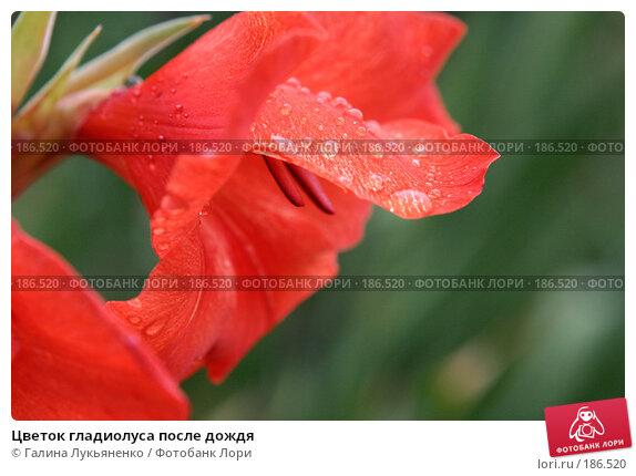Цветок гладиолуса после дождя, фото № 186520, снято 13 сентября 2007 г. (c) Галина Лукьяненко / Фотобанк Лори