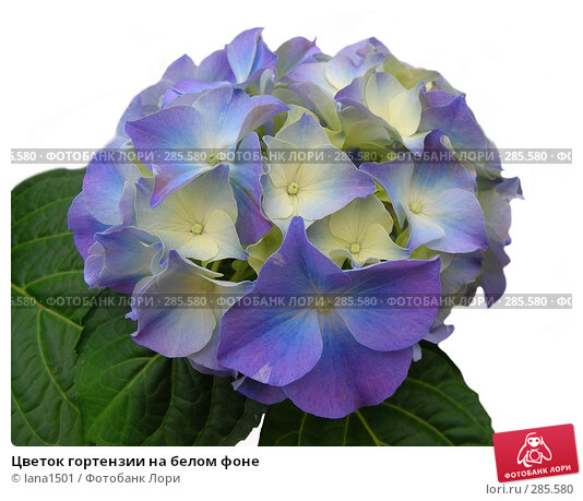 Цветок гортензии на белом фоне, эксклюзивное фото № 285580, снято 16 апреля 2008 г. (c) lana1501 / Фотобанк Лори