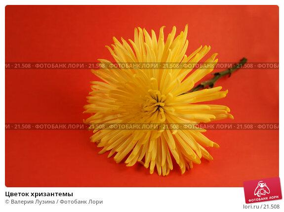 Цветок хризантемы, фото № 21508, снято 6 марта 2007 г. (c) Валерия Потапова / Фотобанк Лори
